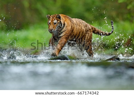 Amur Tiger with splash of the water, running in the water. Dangerous animal in taiga in Russia. Animal in forest stream. #667174342