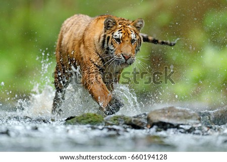 Amur tiger with splash of water. Wild cat in nature habitat, running in water. Dangerous animal, taiga in Russia. Animal in the forest stream. #660194128