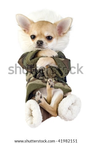 amusing Chihuahua puppy dressed in khaki jumpsuit isolated on white background