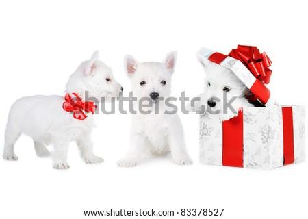 Amusing   white puppy on white background