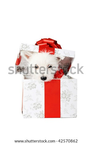 Amusing   white puppy with  red ribbon in box, portrait