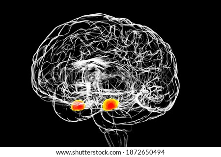 Amygdala, also known as corpus amygdaloideum, in the brain, 3D illustration. Two almond-shaped clusters of nuclei within the temporal lobes, part of the limbic system, play role in memory and emotions Foto stock ©