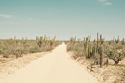An abandoned desert road through a forest of saguaro cactus