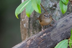 an Abbott's babbler looking for food with a natural green and grey rock background