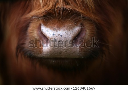 an Aberdeen angus Highland Cow up close