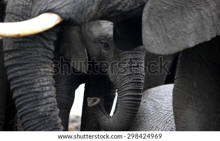 An abstract black and white image of a baby elephant calf protected by its herd of elephants. close up image from safari in South Africa.