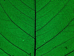 an abstract macro closeup of a beautiful veined vein skeleton of a green leaf against black background
