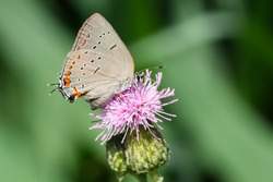 An Acadian Hairstreak is collecting nectar from a pink Canada Thistle flower. Taylor Creek Park, Toronto, Ontario, Canada.