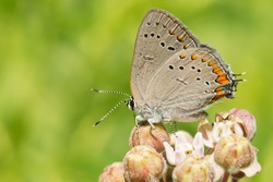 An Acadian Hairstreak is collecting nectar from a pink Milkweed flower. Taylor Creek Park, Toronto, Ontario, Canada.