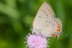 An Acadian Hairstreak is collecting nectar from a pink Thistle flower. Taylor Creek Park, Toronto, Ontario, Canada.