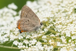 An Acadian Hairstreak is collecting nectar from white Queen Anne's Lace flowers