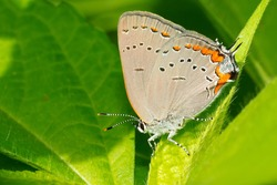 An Acadian Hairstreak is resting on a green leaf. Taylor Creek Park, Toronto, Ontario, Canada.