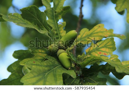an acorn from an oak tree on the background of oak leaves, in the woods #587935454