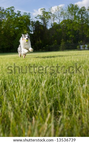 An active and athletic Australian Shepherd  leaps as she retrieves a ball.