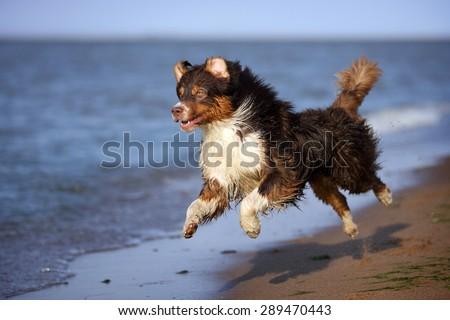 An active dog runs on the beach