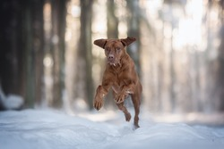 An active male hungarian vizsla running through the snowdrifts in the rays of the setting sun against the backdrop of a magic pine winter forest