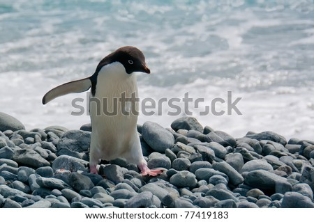 An adele penguin steps carefully over a rocky beach in the South Orkney Islands, Antarctica.