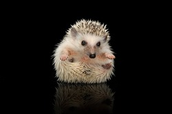An adorable African white- bellied hedgehog looking at the camera - studio shot, isolated on black background.
