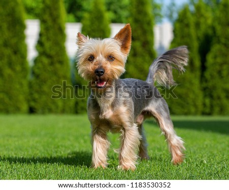 An adorable Australian Silky Terrier posing on fresh mowed lawn in hot summer sunny day. Dog standing on fresh cut grass waiting for the command. #1183530352