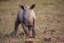 An adorable baby White Rhino calf photographed on a safari in South Africa