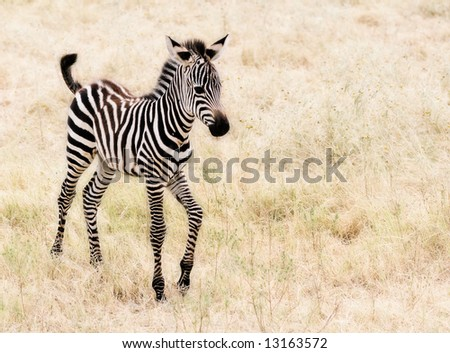 An adorable baby Zebra walking.