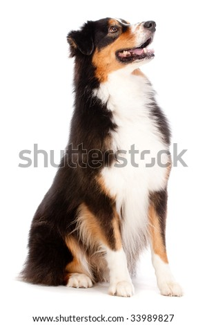 An adorable black and brown australian shepard sits obediently against white background