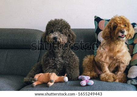 An adorable black and brown Poodle dogs sitting on sofa with their toy when relaxing at home.