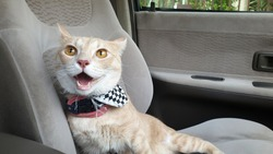 An adorable bright orange cat wearing fashion fabric collar sitting and panting alone on passenger seat without carrier inside the car when travel with owner on summer
