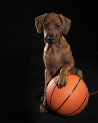 An adorable brown Rhodesian Ridgeback puppy with its paw on a basketball on a black background