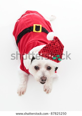 An adorable Christmas pooch wearing a red santa suit.  White Background.