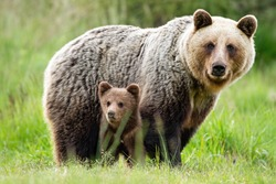 An adorable cub and adult female of brown bear, ursus arctos, with fluffy coat, united in the middle of grass meadow. An attentive bear family observing her surrounding and looking into the camera.
