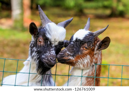 An adorable Dwarf goats poses at a farm gate.