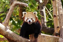 An adorable endangered red panda which can be found in Nepal, India, Bhutan, China and Myanmar.. The red panda is under threat because of habitat loss, poaching, the pet trade, and forest fires.