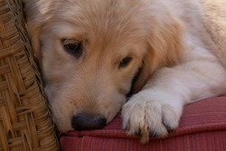An adorable golden retriever puppy lounging on a whicker chair.