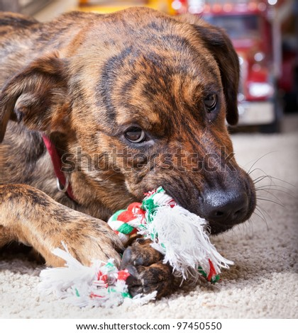 An adorable hound chewing on his rope toy