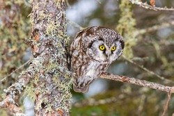 An adorable little boreal owl sitting on a tree branch in Minnesota during the winter.  Very watchful with its big yellow eyes.
