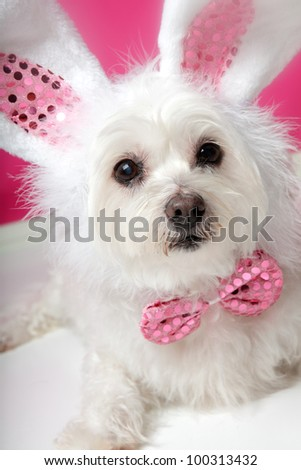 An adorable little dog with soft white fluffy fur, wearing sequin bunny ears and matching sequin bow tie.  Closeup.
