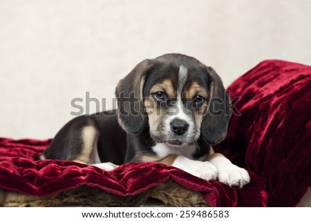 An adorable little seven week old beagle puppy, with focus on his face and copy space