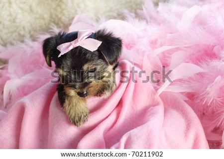 An adorable little Yorkshire Terrier puppy with pink blanket and bow, looking down, selective focus