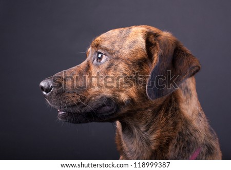 An adorable Plott Lab mix - stock photo