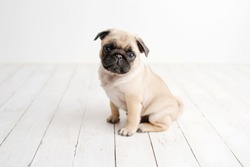 An adorable pug puppy sitting on white wood background