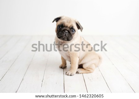 An adorable pug puppy sitting on white wood background Сток-фото ©