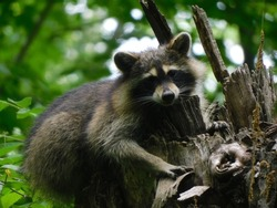 An adorable raccoon resting on top of a tree bark