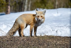 An Adorable Red Fox on a Beautiful Spring Morning