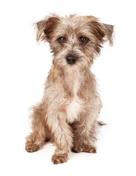 An adorable scruffy terrier crossbreed puppy sitting