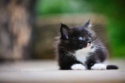 An adorable small black and white kitten sitting and looking up on a wooden floor back ground by green garden in daytime lighting. Blue eyes cat. Cutie cat in a park.