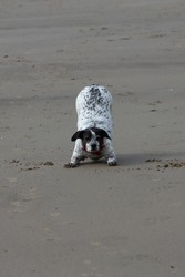 An adorable spotty crossbreed dog play bowing on a sandy beach in west Wales, UK.
