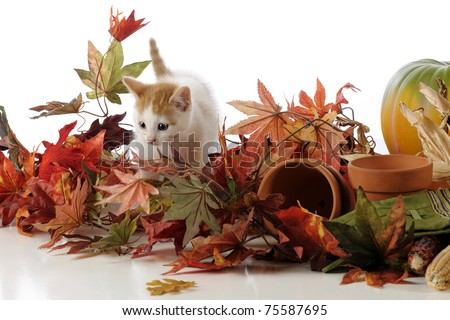 An adorable tan and white kitten among colorful fall leaves, Indian corn, pumpkins and garden supplies.
