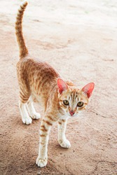 An adorable Thai local cat