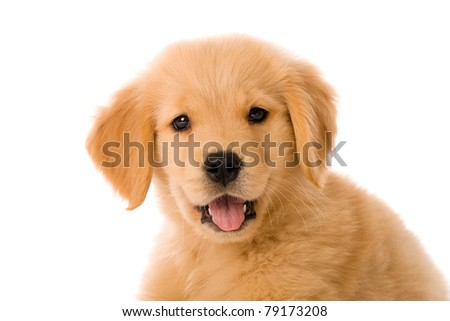 an adorable 8 week old Golden Retriever puppy with a happy expression n his face.
